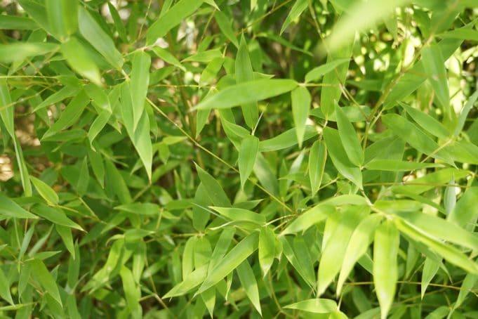 Fargesia Murielae Muriel Bambus Pflanzen Pflege Und Wachstum