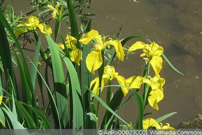 Sumpf-Schwertlilien Teichpflanzen