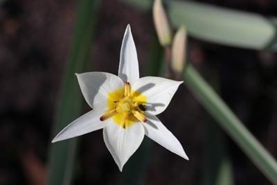 Turkestanische Tulpe
