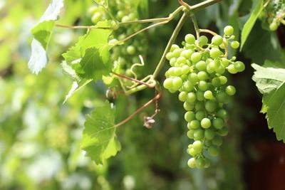 Vitis Weinreben