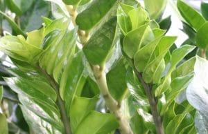 Topfpflanzen Zaimie
