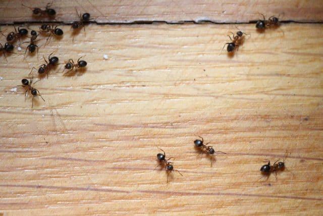 Fliegende Ameisen in Haus und Garten bekämpfen - Gartendialog.de