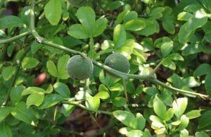 Bitterorange exotische Pflanze