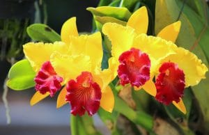 Cattleya-Orchidee