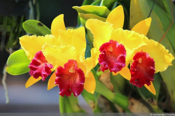 Cattleya-Orchidee