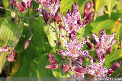 Krötenlilie Tigerstern Tricyrtis hirta