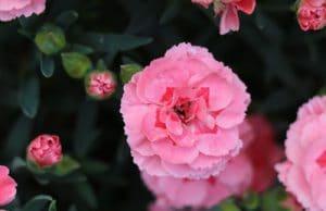 Nelken Dianthus