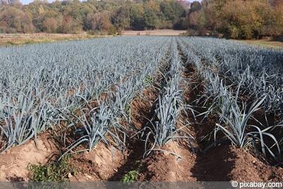 Berühmt Porree, Lauch - Anbau, Pflege und Ernte - Gartendialog.de @PG_32