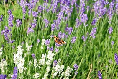 Kräuter Lavendel