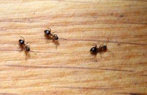 Fliegende Ameisen loswerden