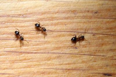 Ameisen loswerden