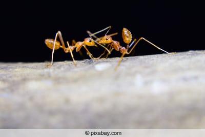 Beliebt Fliegende Ameisen in Haus und Garten bekämpfen - Gartendialog.de PO27