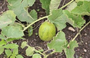 Melone anbauen