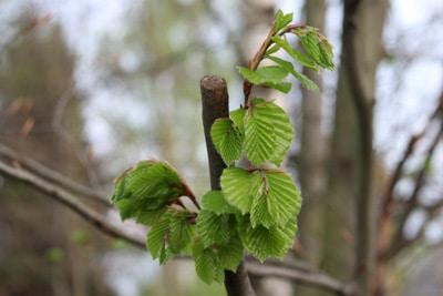 Atemberaubend Haselnussstrauch, Haselnuss - Pflanzen, Pflege und Schneiden #DT_35
