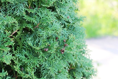 Thuja occidentalis immergrüne Sträucher