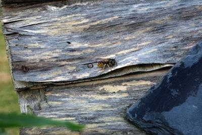 Wespenbekämpfung