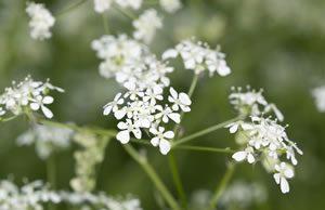 Kümmel-Pflanze