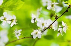 Obstbaum Blüten