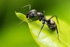 Ameise auf Blatt