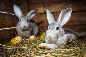 Hasen im Kaninchenstall
