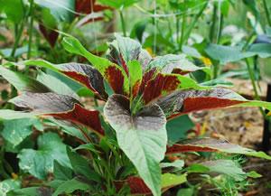 Amarant Pflanze