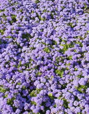 Ageratum houstonianum im Garten