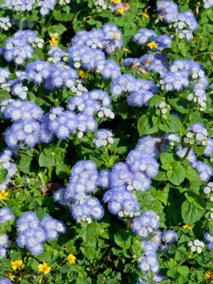 Leberbalsam Pflanzen