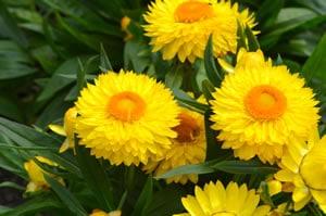 gelbe Strohblumen