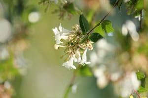 Blüte der Abelie