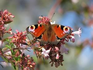 Schmetterling auf Abelia