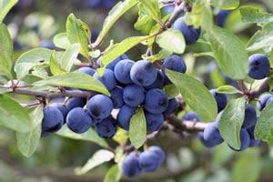 Schwarzdorn Früchte