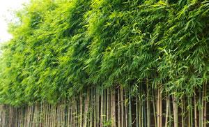 Phyllostachys Sorten Des Bambus Und Pflege Gartendialogde
