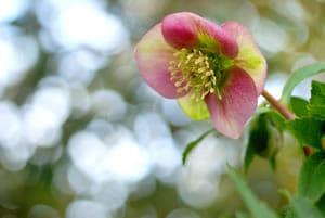 Blüte der Christrose