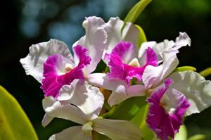 Cattleya mit weißen Blüten