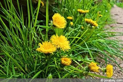 Taraxacum sect. Ruderalia