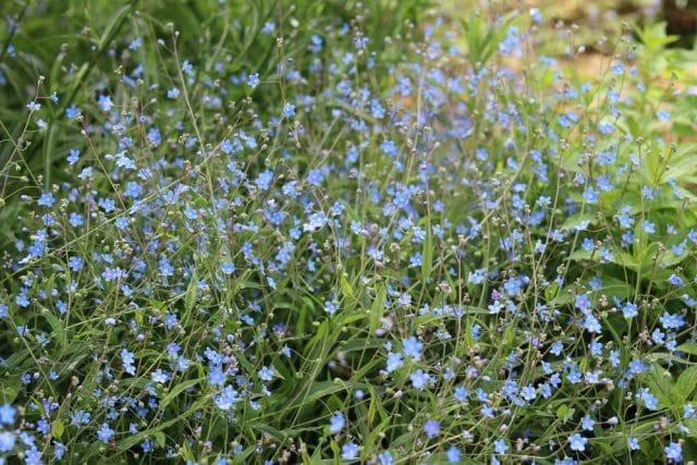 Frühlings-Gedenkemein, Omphalodes verna