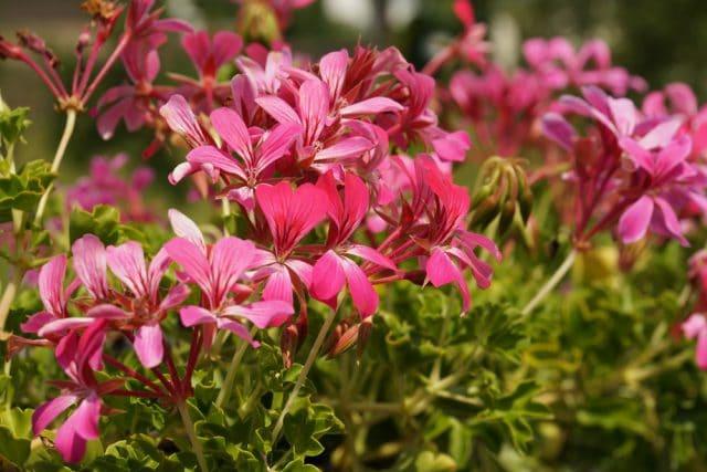 Duftpflanzen Geranie