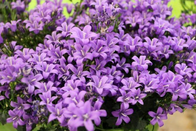 Glockenblume Blumenwiese