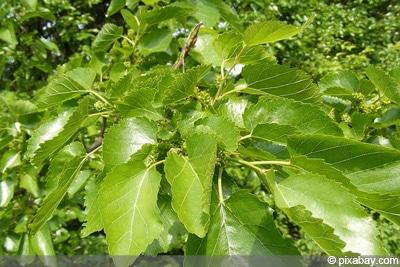 Maulbeere Maulbeerbaum