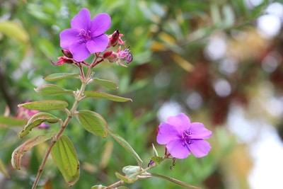Tibouchina Prinzessinnenblume
