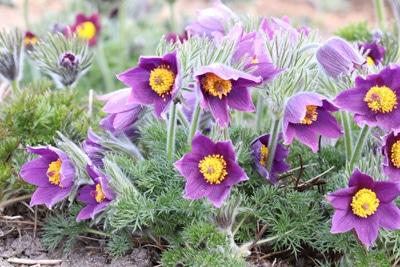 Küchenschelle Kuhschelle, Blumen vertragen Frost