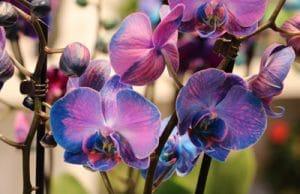 Orchidaceae phalaenopsis Orchideen
