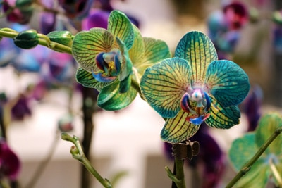 Orchidaceae phalaenopsis Schmetterlingsorchidee