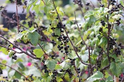 Johannisbeeren Ribes