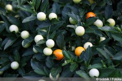 Korallenstrauch Solanum pseudocapsicum