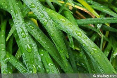 Liriope muscari, Lilientraube, Traubenlilie
