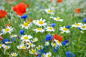 Blumenwiese Anlegen Die Schönsten Wiesenblumen Gartendialogde
