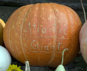 Atlantic Giant Kürbis