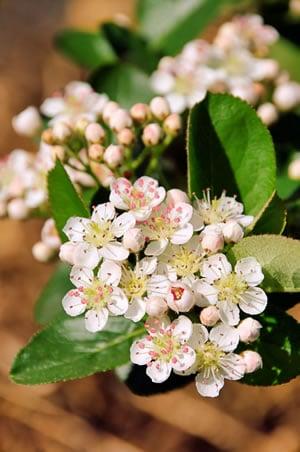 Blüte der Arionia