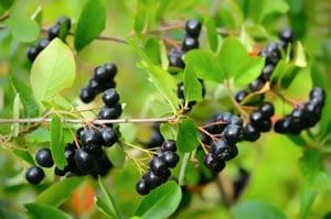 Aronia Pflanze Pflege Und Ernte Von Aroniabeeren Apfelbeeren
